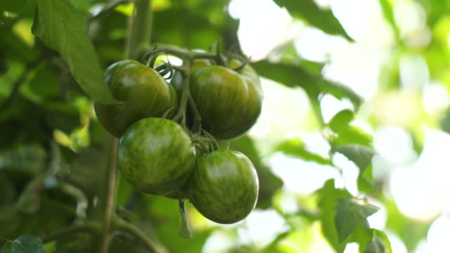 tomatoes in a greenhouse - organic stock videos & royalty-free footage