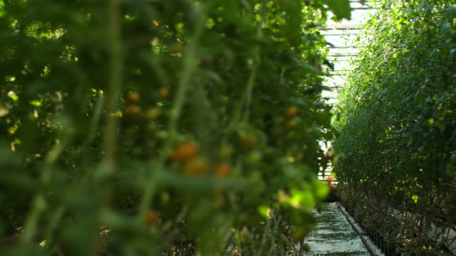tomatoes in a greenhouse - ripe stock videos & royalty-free footage