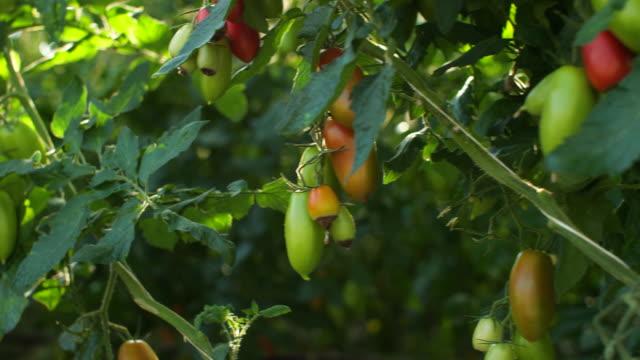 温室のトマト - 熟した点の映像素材/bロール