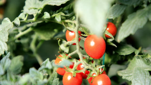 tomatoes in agricultural planting greenhouses in ulanchab city, inner mongolia, china - harvesting点の映像素材/bロール