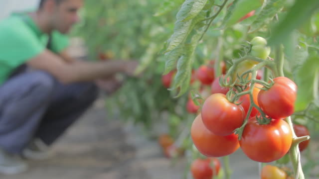tomatoes in greenhouse - sauce stock videos & royalty-free footage