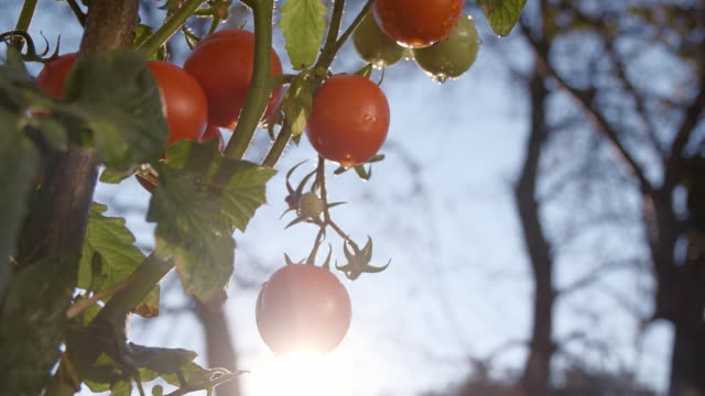 slo mo tomatoes in the garden - vine stock videos & royalty-free footage