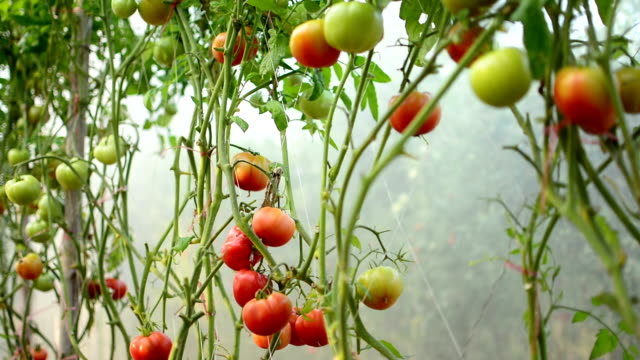 tomatoes in the garden - ripe stock videos & royalty-free footage