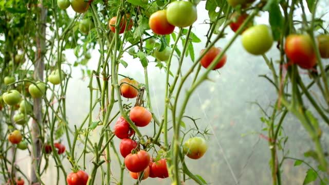 トマトのガーデン - 熟した点の映像素材/bロール