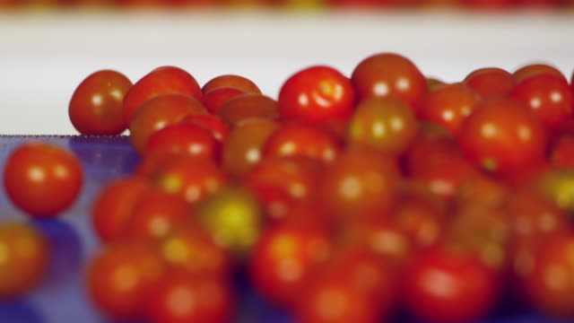 CU SELECTIVE FOCUS Tomatoes on conveyor belt / Algarrobo, Malaga, Spain