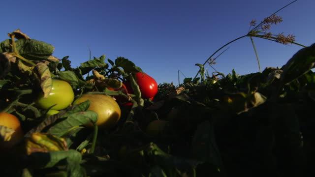 tomatoes on vine again - wiese stock videos & royalty-free footage