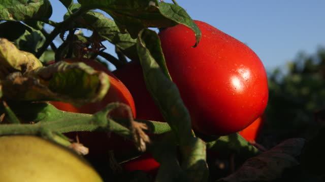 tomatoes on vine cu - wiese stock videos & royalty-free footage