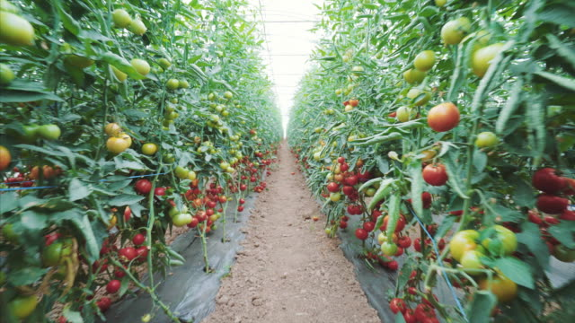 tomatoes production in a greenhouse. - tomato stock videos & royalty-free footage