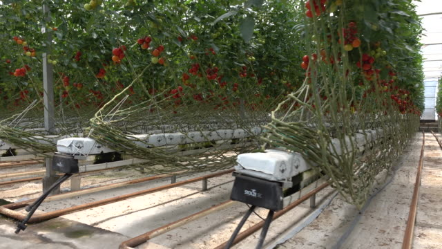 tomatoes ripening in greenhouse - epiphyte stock videos & royalty-free footage