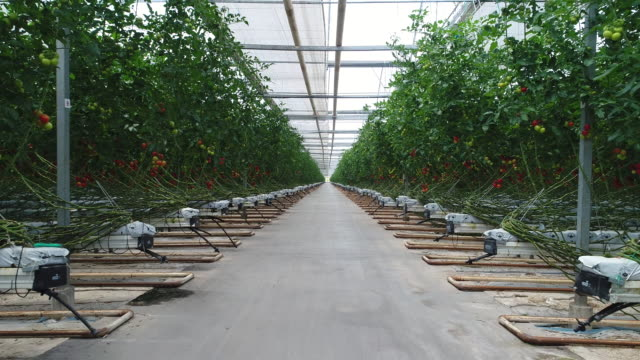 tomatoes ripening in greenhouse - industry stock videos & royalty-free footage