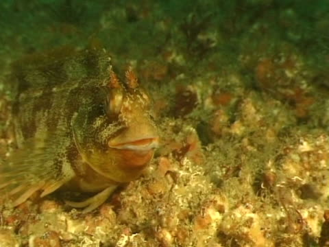 tompot blenny sitting on barnacles resting, - tompot blenny stock videos and b-roll footage