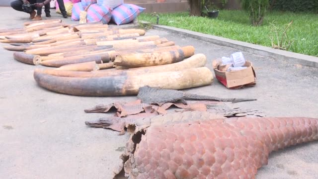 A ton of ivory and a ton of pangolin scales were seized in Ivory Coast