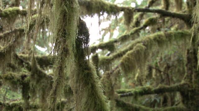 トンガス国定レインフォレスト(ラックフォーカス - 国有林点の映像素材/bロール