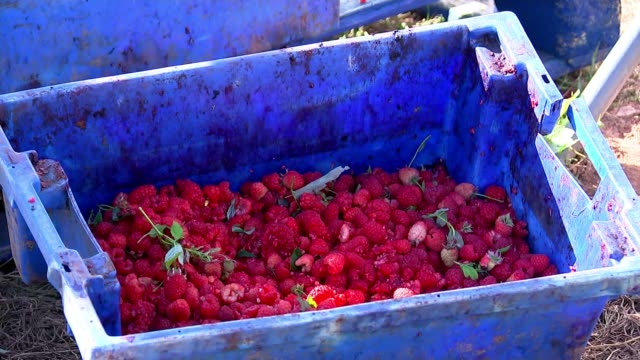 tonnes of british-grown fruit wasted over shortages of eu workers amid no-deal brexit fears; england: herefordshire: ledbury: ext close shots of... - herefordshire bildbanksvideor och videomaterial från bakom kulisserna