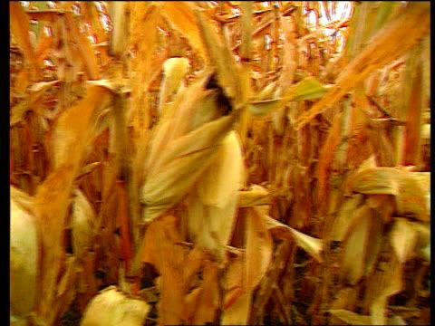 Tony Blair gives backing LIB USA Missouri Sweetcorn crop growing in field PAN CS Corn cob Order Ref BSP150299014