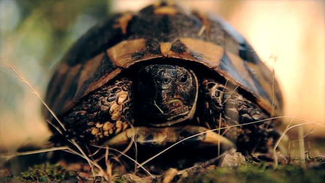 stockvideo's en b-roll-footage met ook schattige schildpad, close-up - schildpad