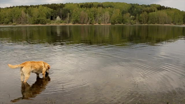 Too cute yellow dog playing in the lake