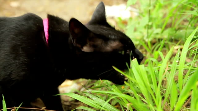 Too important for domestic cat is eating a fresh grass