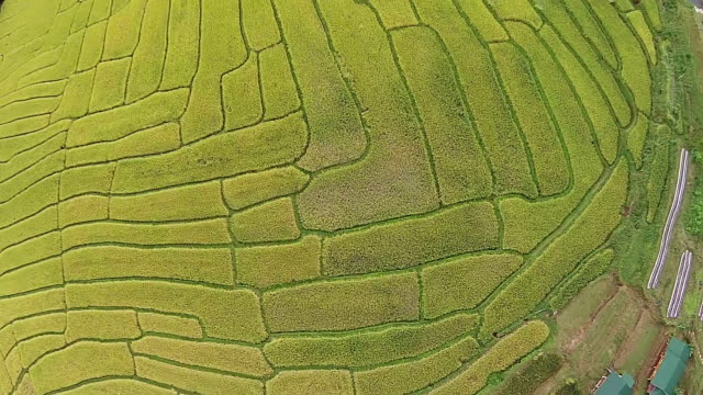 Top Aerial View  Rice Field