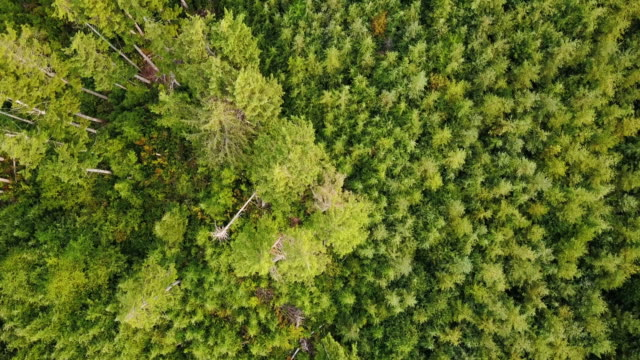 top down aerial shot of evergreen trees in pacific northwest managed forest - contrasts stock videos and b-roll footage