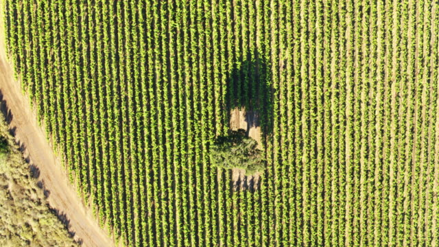 top down drone shot of a vineyard - monterey county stock videos and b-roll footage