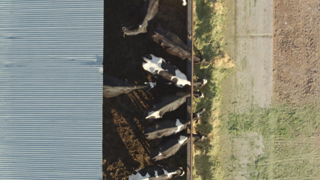 Top Down Drone Shot of Cows Feeding on Dairy Farm