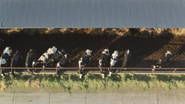 Top Down Drone Shot of Dairy Cows Feeding