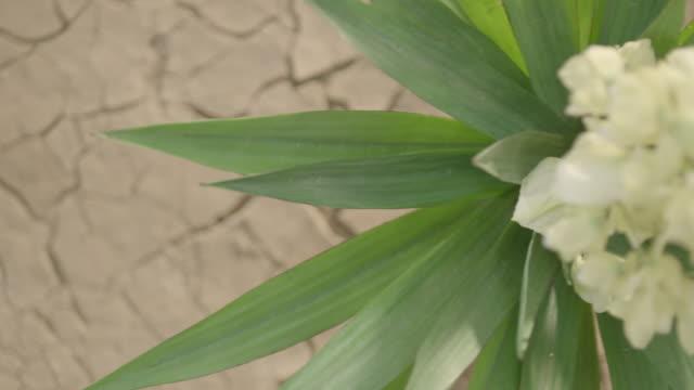 Top shot of flowering yucca (succulent plant) in desert.