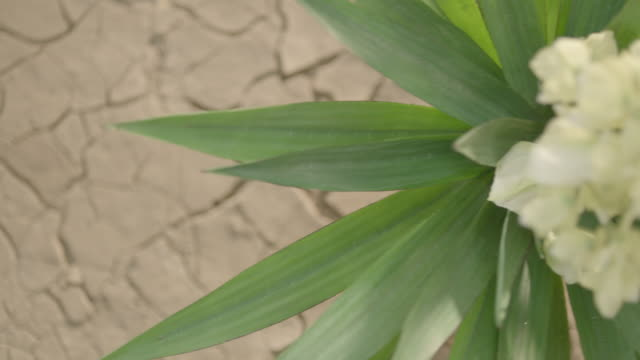 top shot of flowering yucca (succulent plant) in desert. - flowering plant stock videos & royalty-free footage