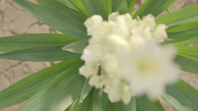 top shot of flowering yucca (succulent plant) in desert. - yucca stock videos & royalty-free footage