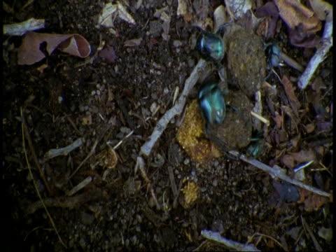 vidéos et rushes de ms top shot of four dung beetles rolling two dung balls, bandhavgarh national park, india - quatre animaux