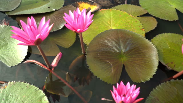 top view and close-up: Pink lotus in wetlands Thale Noi