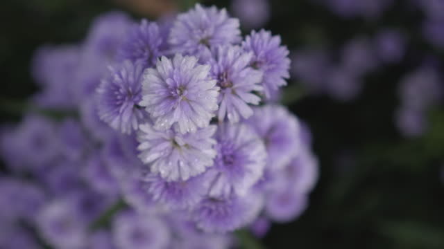 top view close up purple flower with copy space - lobe stock videos & royalty-free footage