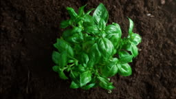 Top View of Basil Plant Growing out of the Fertile Soil