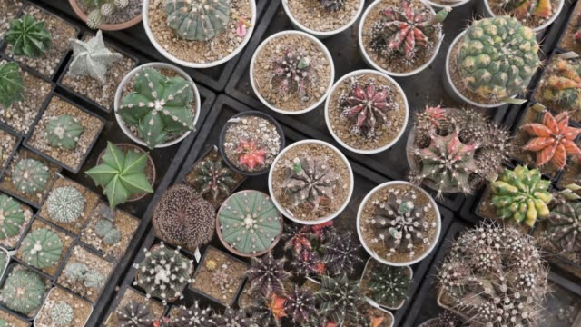 top view of cactus potted plant - flat lay stock videos & royalty-free footage