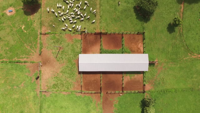Top view of cattle entering in corral - Goias State, Brazil
