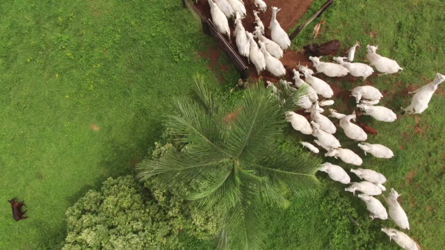 top view of cattle entering in corral - goias state, brazil - bovino video stock e b–roll