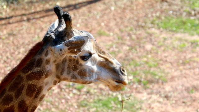 top view of giraffe head