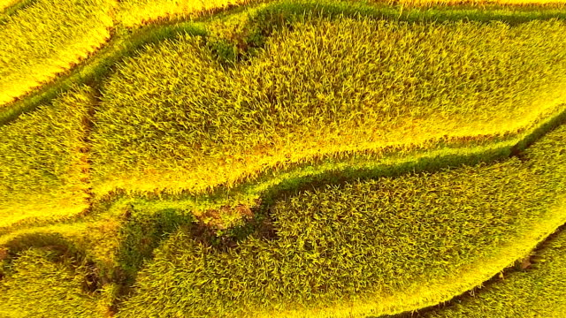 Paddy field Top view