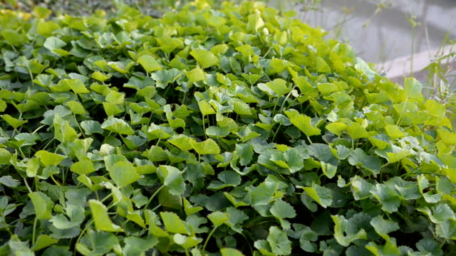 Top view panning: Centella asiatica leaves