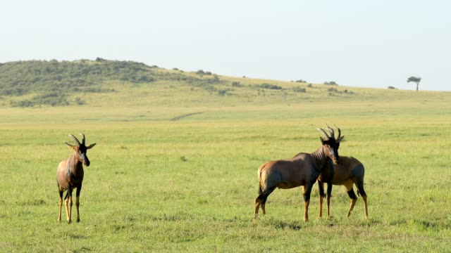 topi antelope, damaliscus lunatus, group, masai mara national reserve, kenya, africa - antilope stock-videos und b-roll-filmmaterial