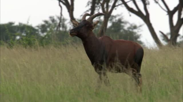 Topi antelope (Damaliscus lunatus) walks on savannah, Uganda
