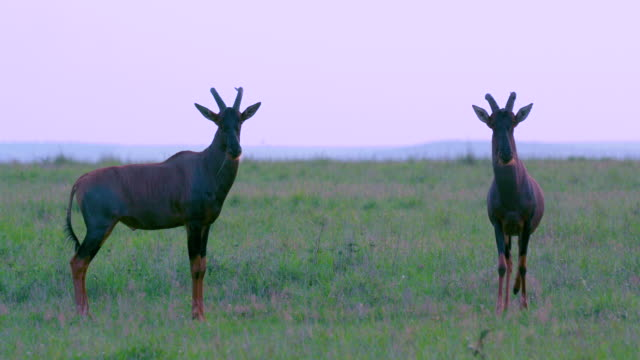 vídeos de stock, filmes e b-roll de topi jousting maasai mara, kenya, africa - antílope mamífero ungulado