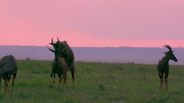 topi mating maasai mara, kenya, africa - antilope stock-videos und b-roll-filmmaterial