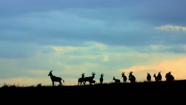 topi silhouettes on hill maasai mara  kenya  africa - herd stock videos and b-roll footage