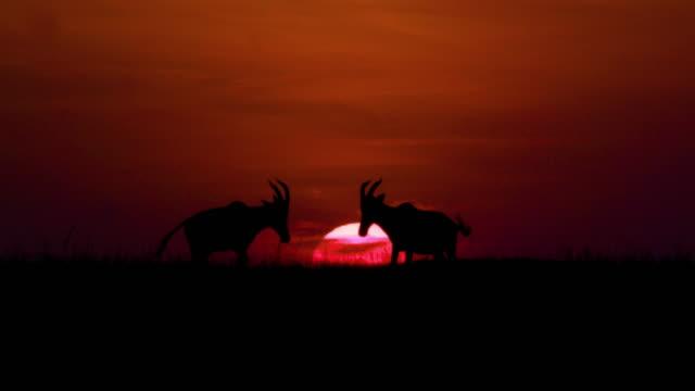 topi sunset silhouette maasai mara, kenya, africa - antelope stock videos & royalty-free footage