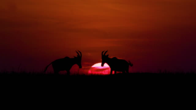 topi sunset silhouette maasai mara, kenya, africa - antilope stock-videos und b-roll-filmmaterial