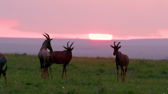 topi trying mating maasai mara, kenya, africa - antilope stock-videos und b-roll-filmmaterial