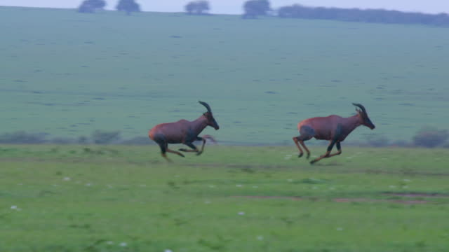 vídeos y material grabado en eventos de stock de topi's chasing each other, maasai mara, kenya, africa - otros temas