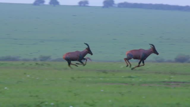 topi's chasing each other, maasai mara, kenya, africa - antilope stock-videos und b-roll-filmmaterial